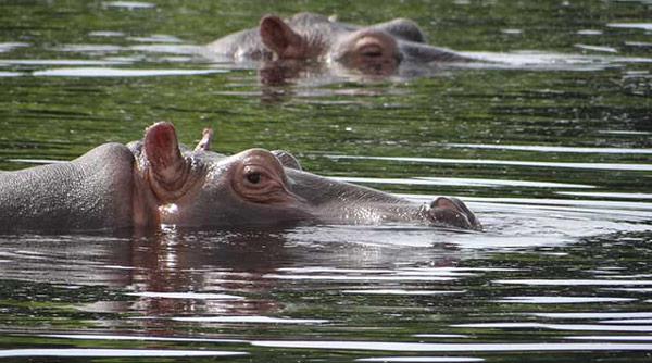 hippos_IBAP